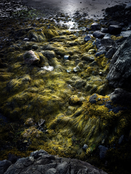 "Photograph of seaweed from Lubec, Maine titled ""Untitled #14"" from the series ""Night"" by Harold Ross"