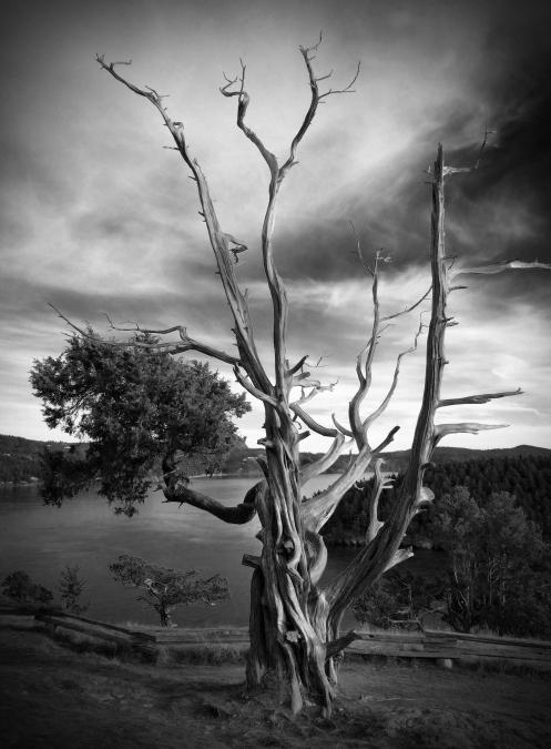 Weston tree